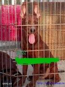 红黑狼犬莱州红